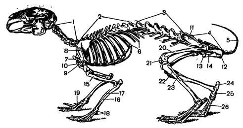 Рис. 5. Скелет кролика