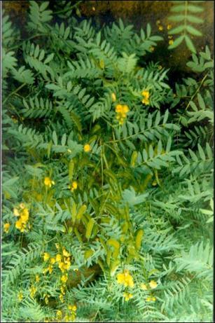 Лікарські рослини які містять